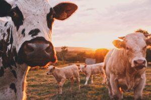 Photo de vaches dans un champ avec coucher de soleil